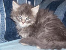 Foto 3 Wunderschöne Maine Coon Kitten o.P.
