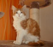 Wunderschöne Maine Coon Kitten, mit Stammbaum