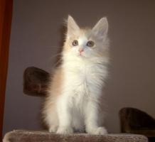 Foto 2 Wunderschöne Maine Coon Kitten, mit Stammbaum