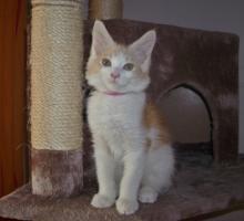 Foto 4 Wunderschöne Maine Coon Kitten, mit Stammbaum