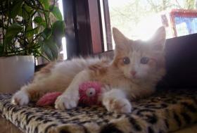 Foto 5 Wunderschöne Maine Coon Kitten, mit Stammbaum