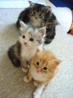 Wunderschöne Maine Coon / Norweger Kitten ab 30KW in liebevolle Hände abzugeben!