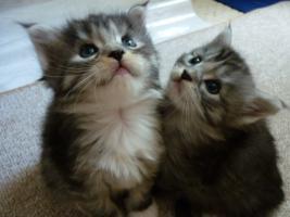 Foto 2 Wunderschöne Maine Coon / Norweger Kitten ab 30KW in liebevolle Hände abzugeben!