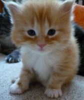 Foto 3 Wunderschöne Maine Coon / Norweger Kitten ab 30KW in liebevolle Hände abzugeben!