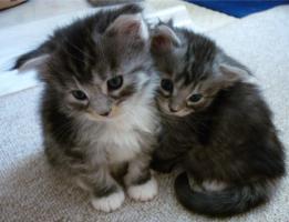 Foto 4 Wunderschöne Maine Coon / Norweger Kitten ab 30KW in liebevolle Hände abzugeben!