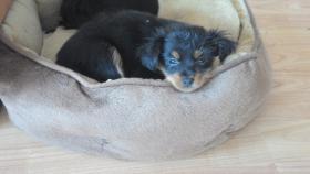 Wunderschöne Russkiy Toy Terrier Welpen Langhaar (ähnlich wie Chihuahua)
