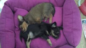 Foto 2 Wunderschöne Russkiy Toy Terrier Welpen Langhaar (ähnlich wie Chihuahua)