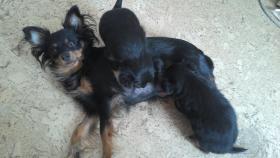 Foto 3 Wunderschöne Russkiy Toy Terrier Welpen Langhaar (ähnlich wie Chihuahua)