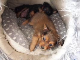 Foto 4 Wunderschöne Russkiy Toy Terrier Welpen Langhaar (ähnlich wie Chihuahua)