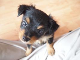 Foto 5 Wunderschöne Russkiy Toy Terrier Welpen Langhaar (ähnlich wie Chihuahua)