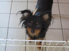 Foto 6 Wunderschöne Russkiy Toy Terrier Welpen Langhaar (ähnlich wie Chihuahua)