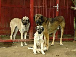 Wunderschöne Welpen Anatolischer Hirtenhund mit Papiere