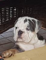 Foto 4 Wunderschöne Welpen Englische Bulldogge