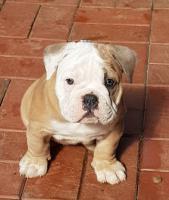 Foto 5 Wunderschöne Welpen Englische Bulldogge