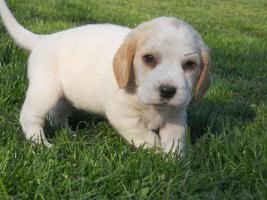 Foto 6 Wunderschöne bicolor Beagle Welpe zu verkaufen mit GRATIS LIEFERUNG!