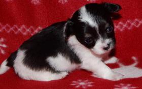 Wunderschöne reinrassige typvolle LH Chihuahuawelpen zu verkaufen!!!