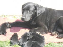 Foto 4 Wunderschöne schwarze Labrador Babys mit gratis Lieferung!