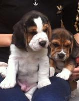 Wunderschöne tricolor beagle Welpen suchen neue Zuhause :-)