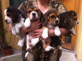 Foto 4 Wunderschöne tricolor beagle Welpen suchen neue Zuhause :-)