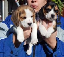 Wunderschönen Beagle Welpen