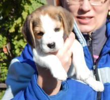 Foto 2 Wunderschönen Beagle Welpen
