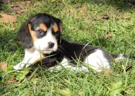 Foto 3 Wunderschönen Beagle Welpen