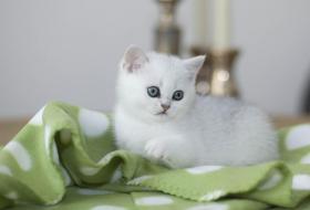 Foto 3 Wunderschönes Britisch Kurzhaar Mädchen in silver-shaded