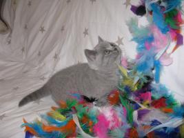 Foto 6 Wunderschönes Kitten BKH in blau ( Kartäuser )