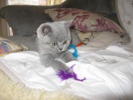 Foto 7 Wunderschönes Kitten BKH in blau ( Kartäuser )