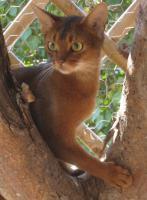 Wunderschönes Mini-Puma-Mädchen abzugeben