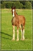 Wunderschönes Shire Horse Hengstfohlen zu verk.