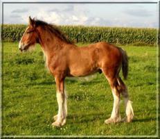 Foto 2 Wunderschönes Shire Horse Hengstfohlen zu verk.