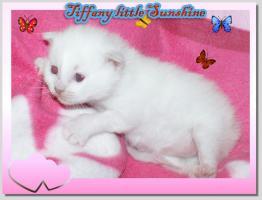 Wunderschönes heilige Birma Kitten (weiblich) abzugeben!