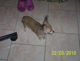 Wundervolle Chihuahuadame aus Liebhaberzucht