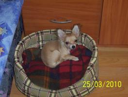 Foto 3 Wundervolle Chihuahuadame aus Liebhaberzucht