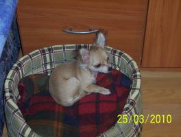 Foto 4 Wundervolle Chihuahuadame aus Liebhaberzucht