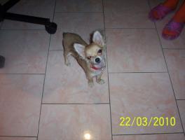 Foto 5 Wundervolle Chihuahuadame aus Liebhaberzucht