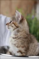 Foto 7 Wundervolle Katzenkinder möchten dich glücklich machen :)