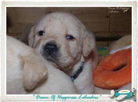 Foto 2 Wundervolle Labradorwelpen suchen neuen Wirkungskreis mit Sofa