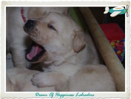 Foto 3 Wundervolle Labradorwelpen suchen neuen Wirkungskreis mit Sofa