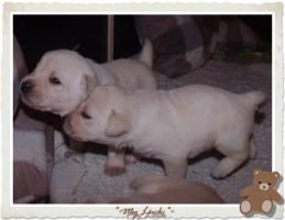 Foto 4 Wundervolle Labradorwelpen suchen neuen Wirkungskreis mit Sofa