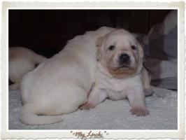 Foto 5 Wundervolle Labradorwelpen suchen neuen Wirkungskreis mit Sofa