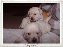Foto 7 Wundervolle Labradorwelpen suchen neuen Wirkungskreis mit Sofa