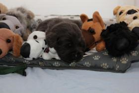 Wundervolle SILBER und CHARCOAL Labrador Welpen!