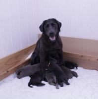 Foto 2 Wundervolle SILBER und CHARCOAL Labrador Welpen!