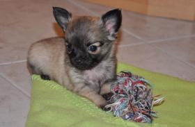 Wundervolle, kleinbleibende Chihuahuawelpen, Rüden, LH, mit Ahnentafel