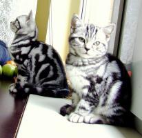 Wundervolles Reinrassige BKH Britisch Kurzhaar Kitten mit Stammbau
