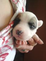 Foto 3 Wurf ankündigung. Miniatur Bullterrier-Old Engl.Bulldog Mix Welpen