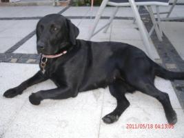 Wurfankündigung Labrador Welpen