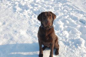 Foto 4 Wurfankündigung Labrador Welpen